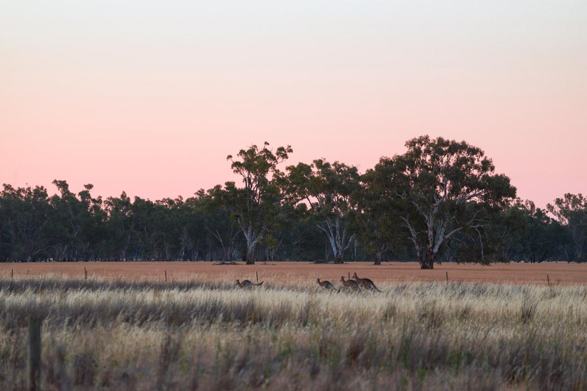 kirsty-owen-travel-photography-kangaroos-at-sunset