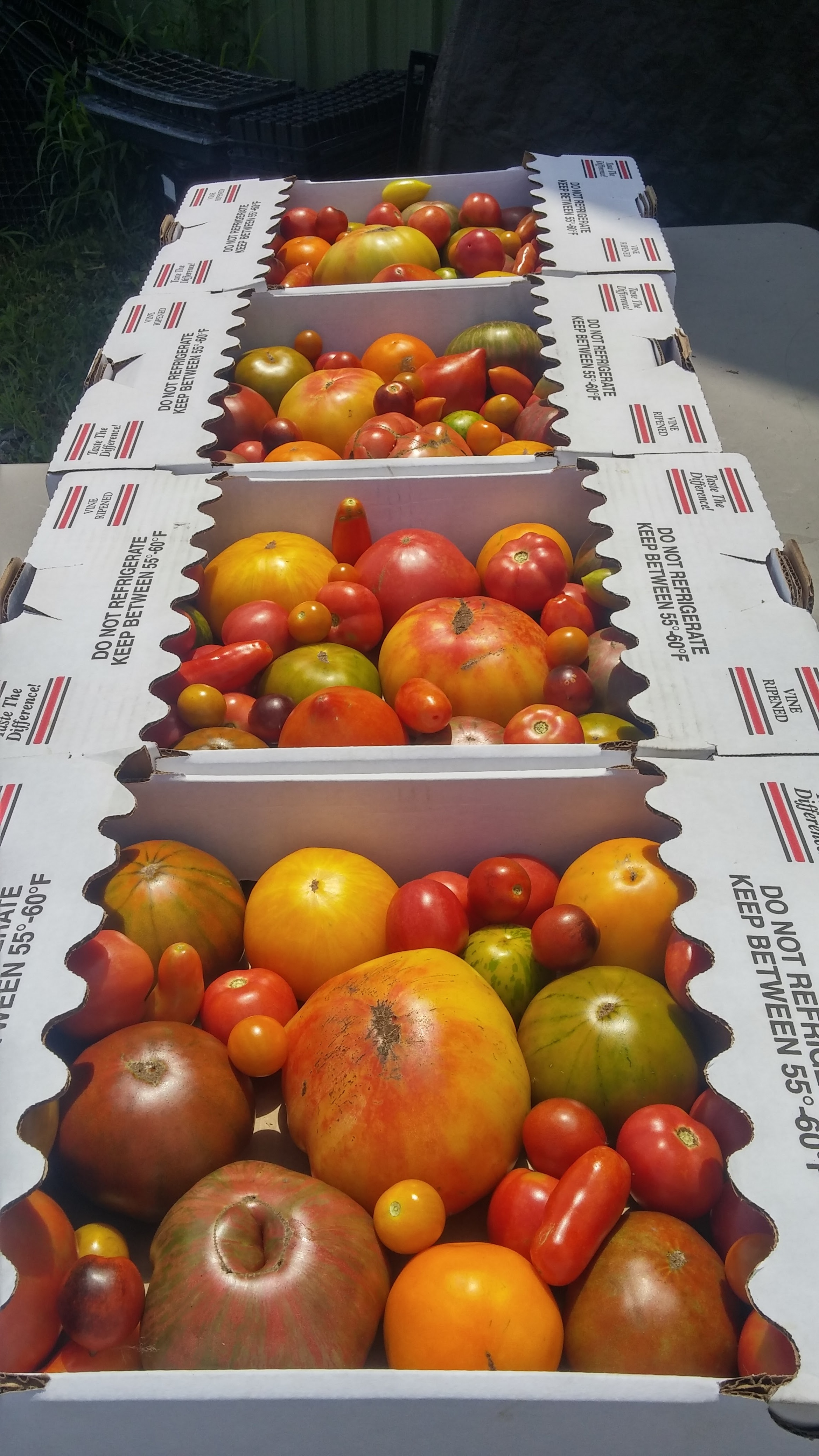 Heirloom tomatoes on their way to restaurants.