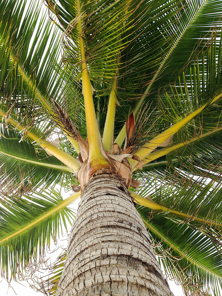 Coconut trees. Everywhere.