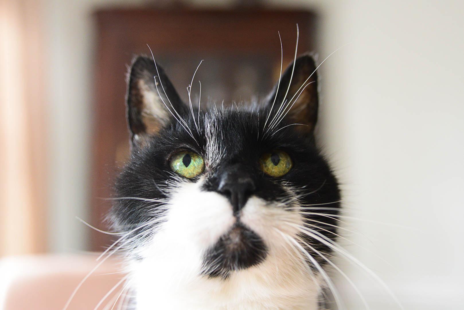 fezzie the cat