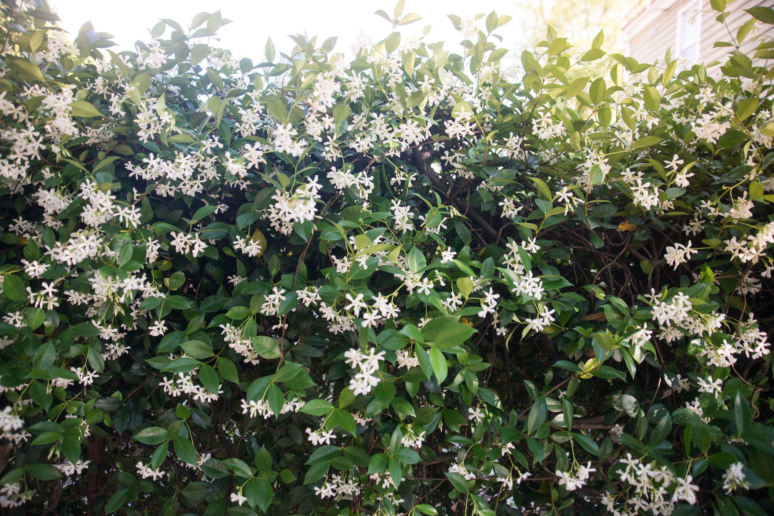 Early summer brings jasmine to the lowcountry.