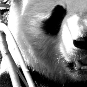 The Panda Complex - Kyle Flemmer