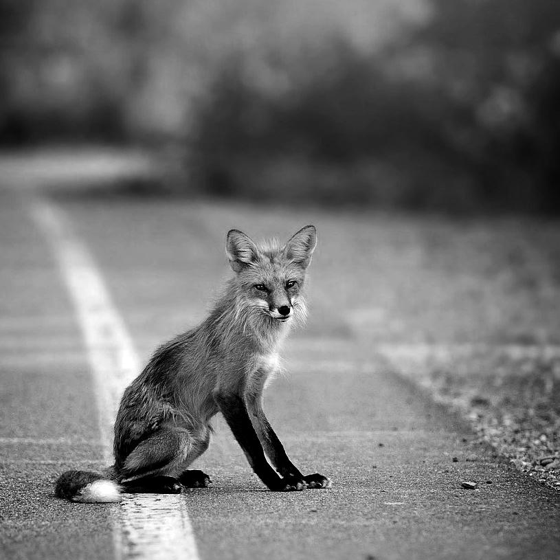 FoxishSquare