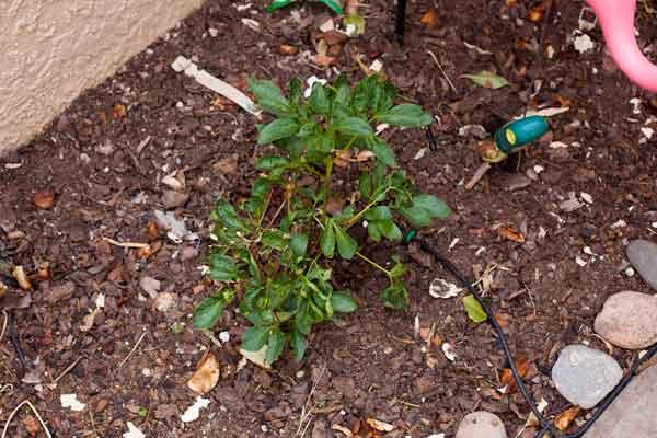 My little peony bush.