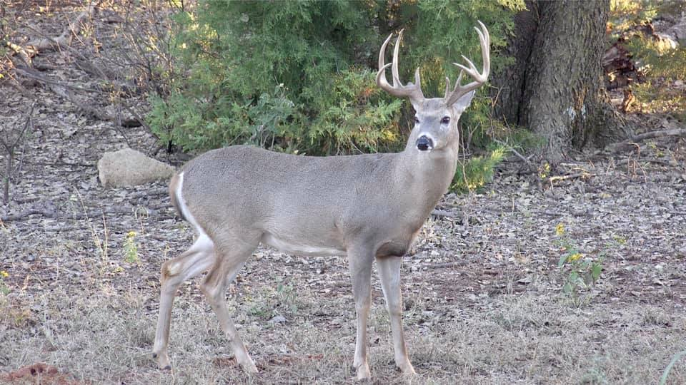 Staffer Trenton Gaines arrowed this Texas panhandle buck coming to Buck Blitz on October 13th, 2018.