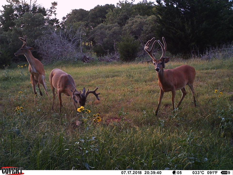Western Oklahoma bucks eating Buck Blitz in July of 2018.