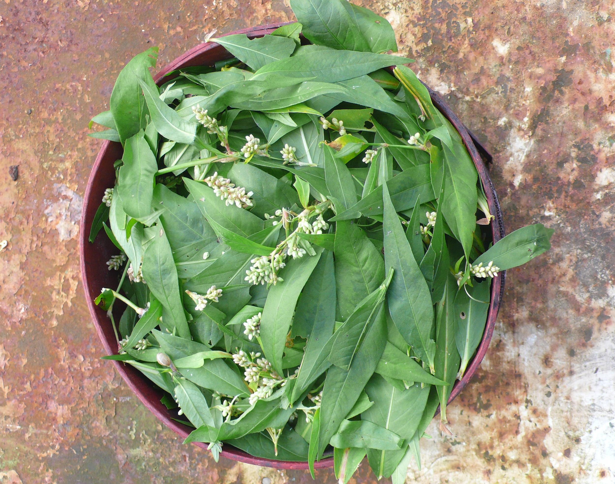 Fresh polygonum leaves