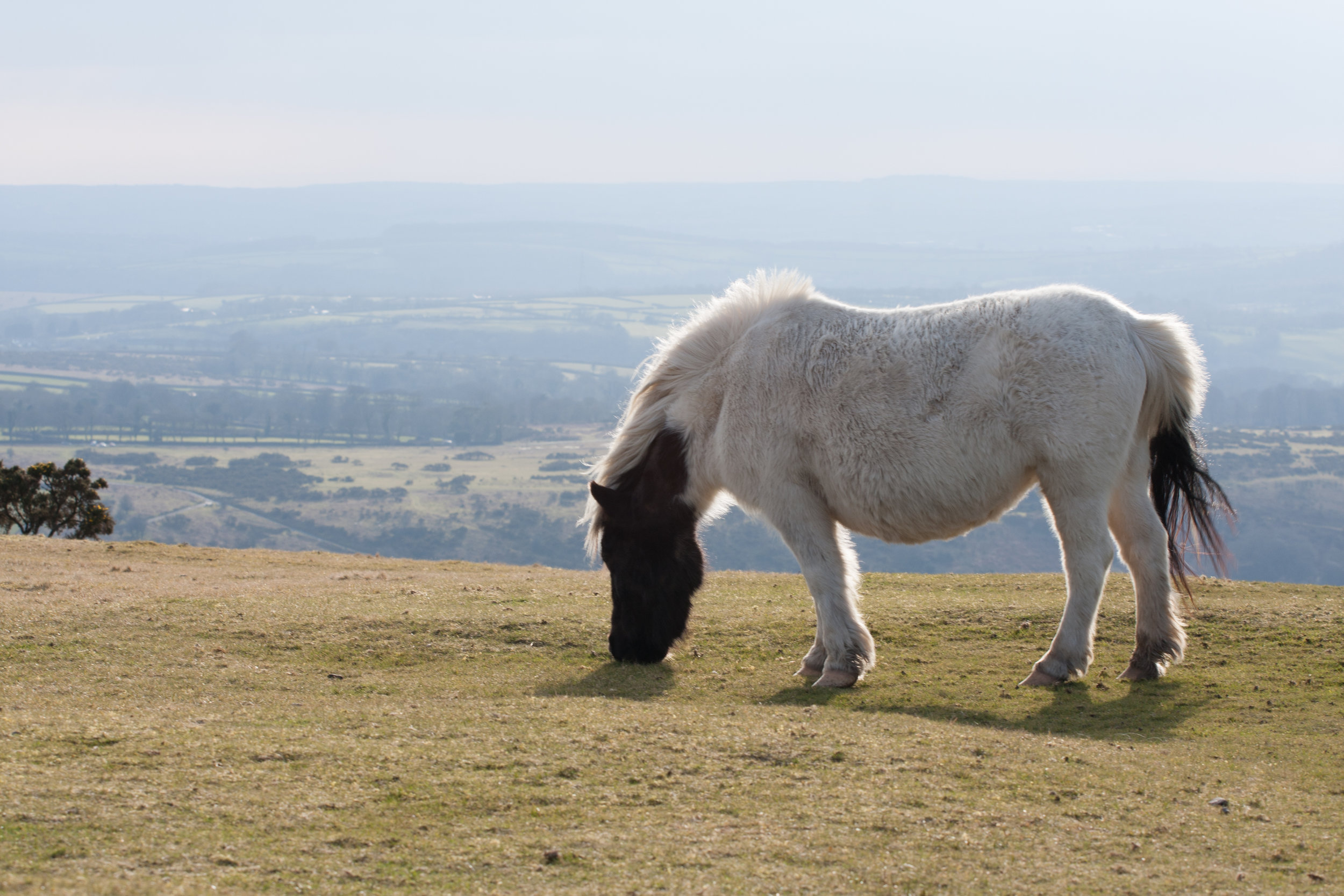 dartmoor_pony.jpg
