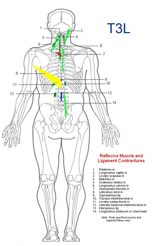 Spinal Reflex Analysis T3 left