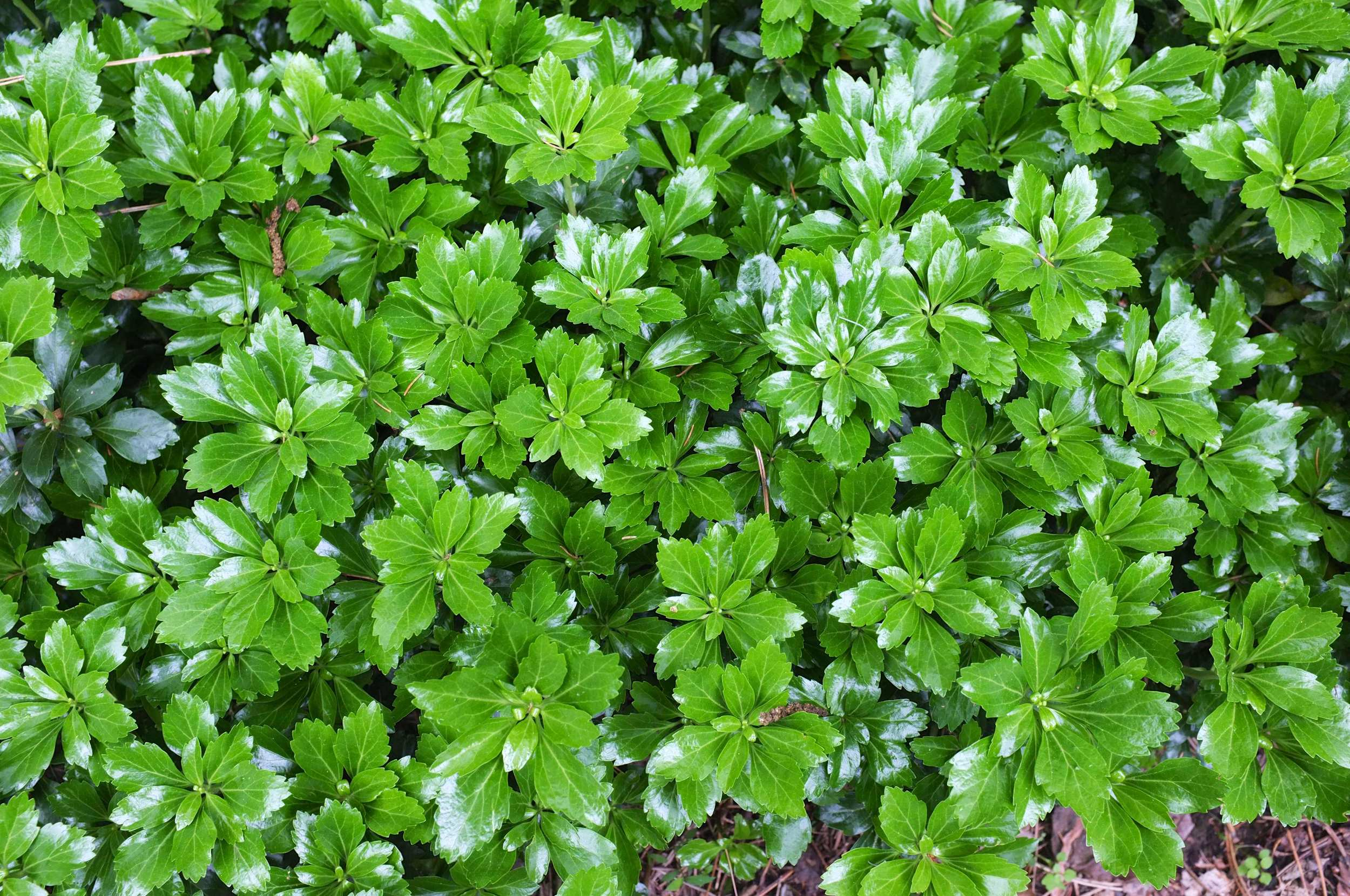 JW Pachysandra Plants Ground Cover 36.jpg