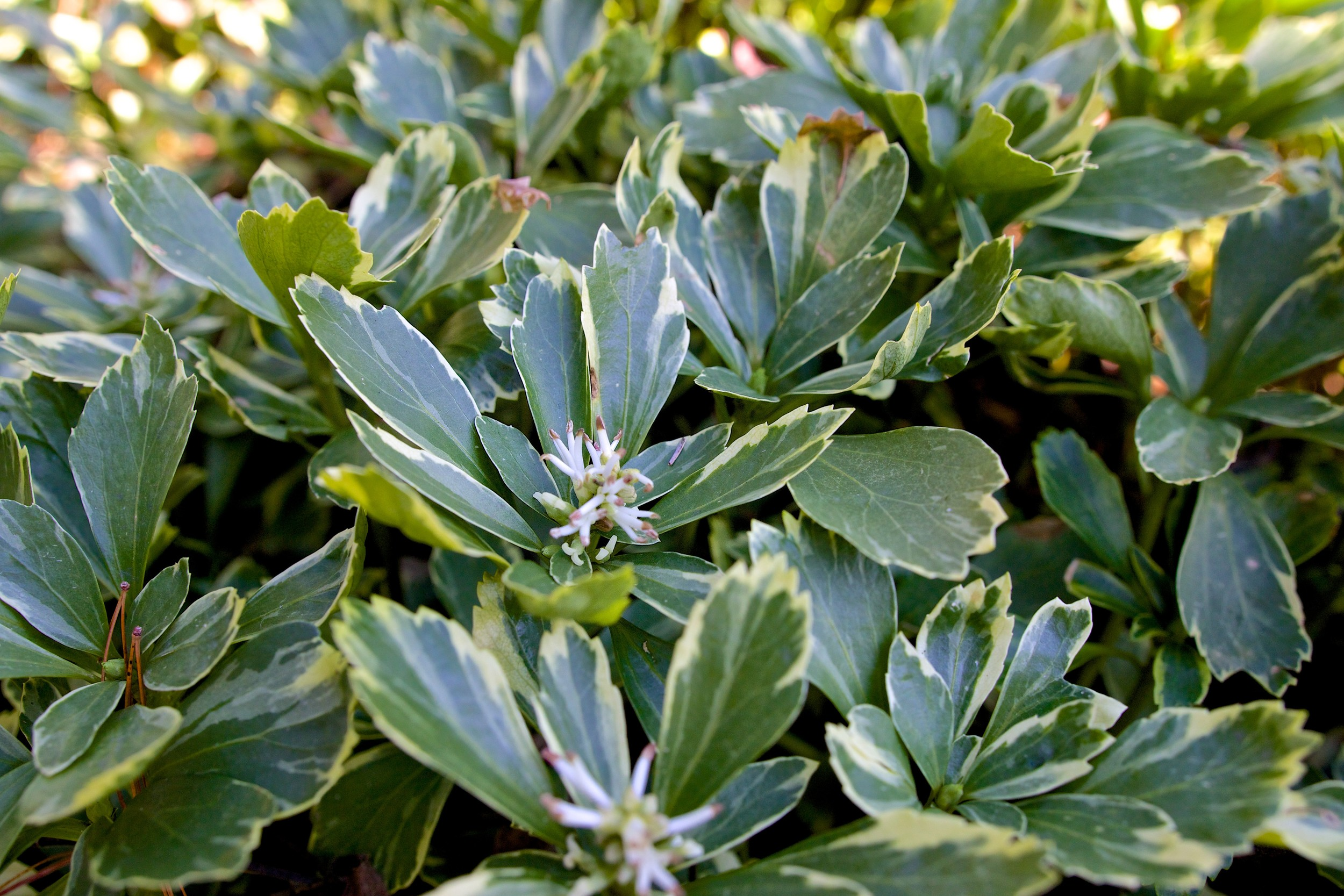 Silver Edge - JW Pachysandra Plants Ground Cover 142.jpg