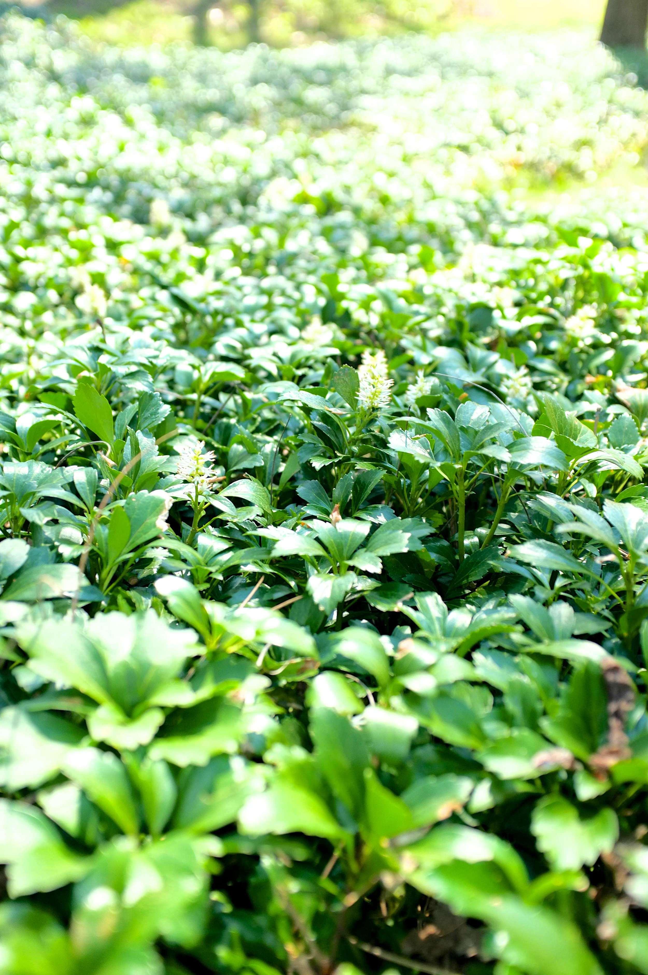 Common Pachysandra - JW Pachysandra Plants Ground Cover 16.jpg