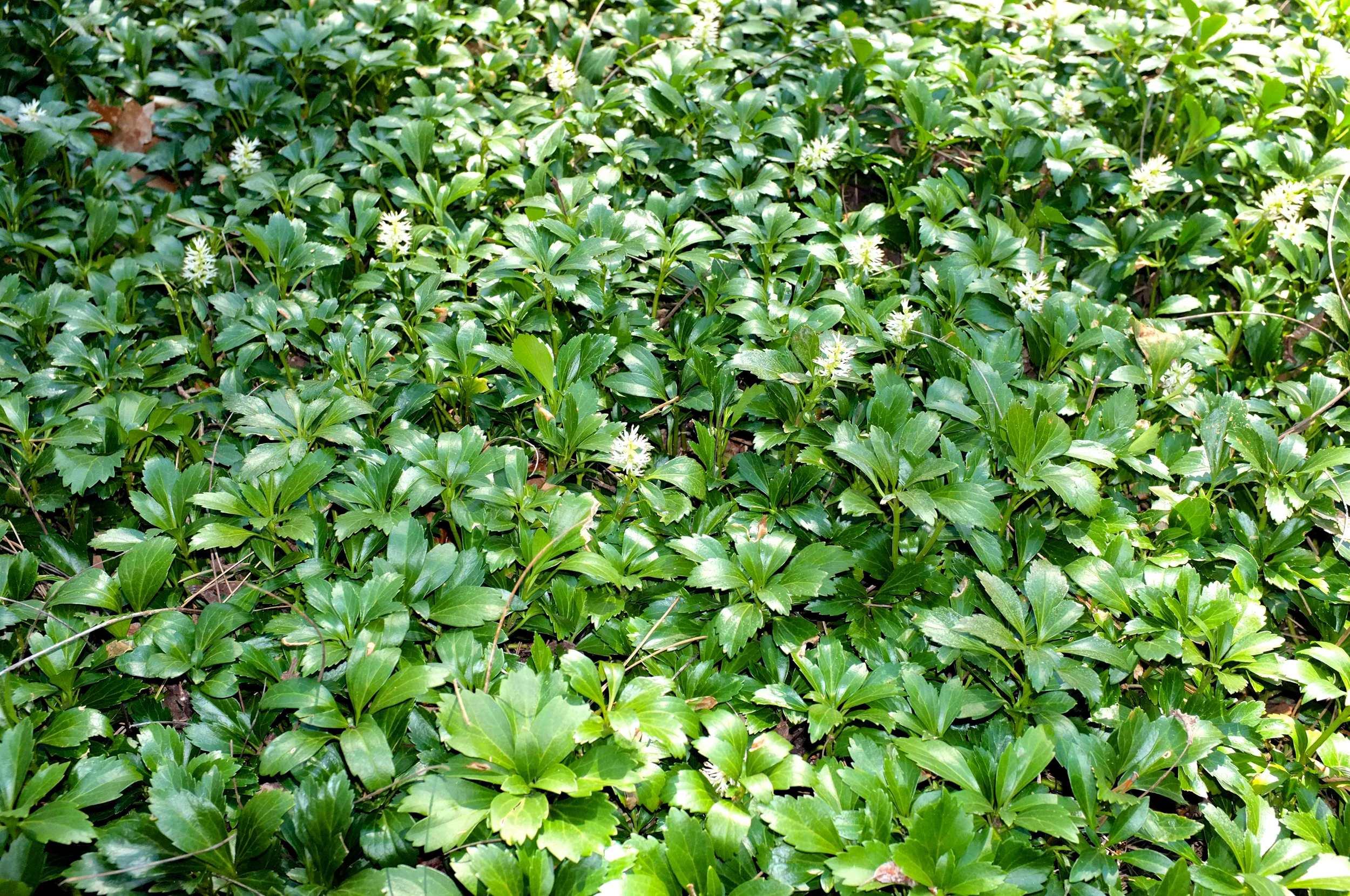 Common Pachysandra - JW Pachysandra Plants Ground Cover 15.jpg