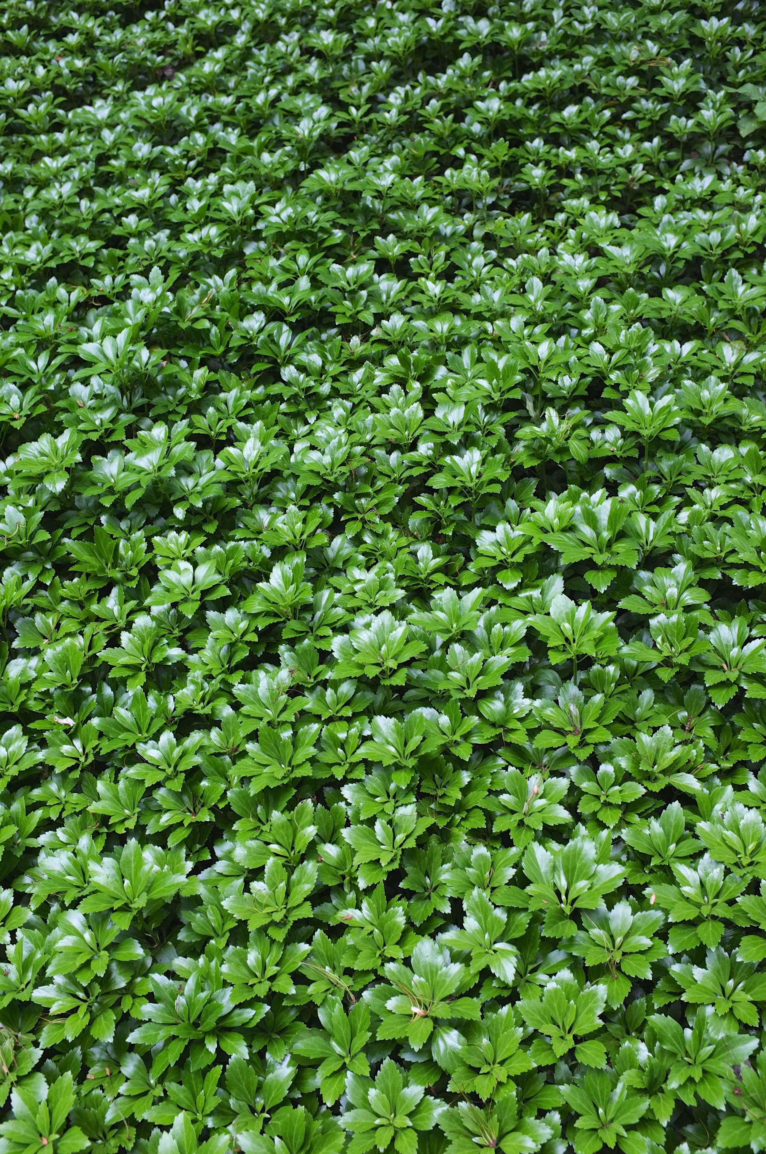Green Sheen - JW Pachysandra Plants Ground Cover 47.jpg