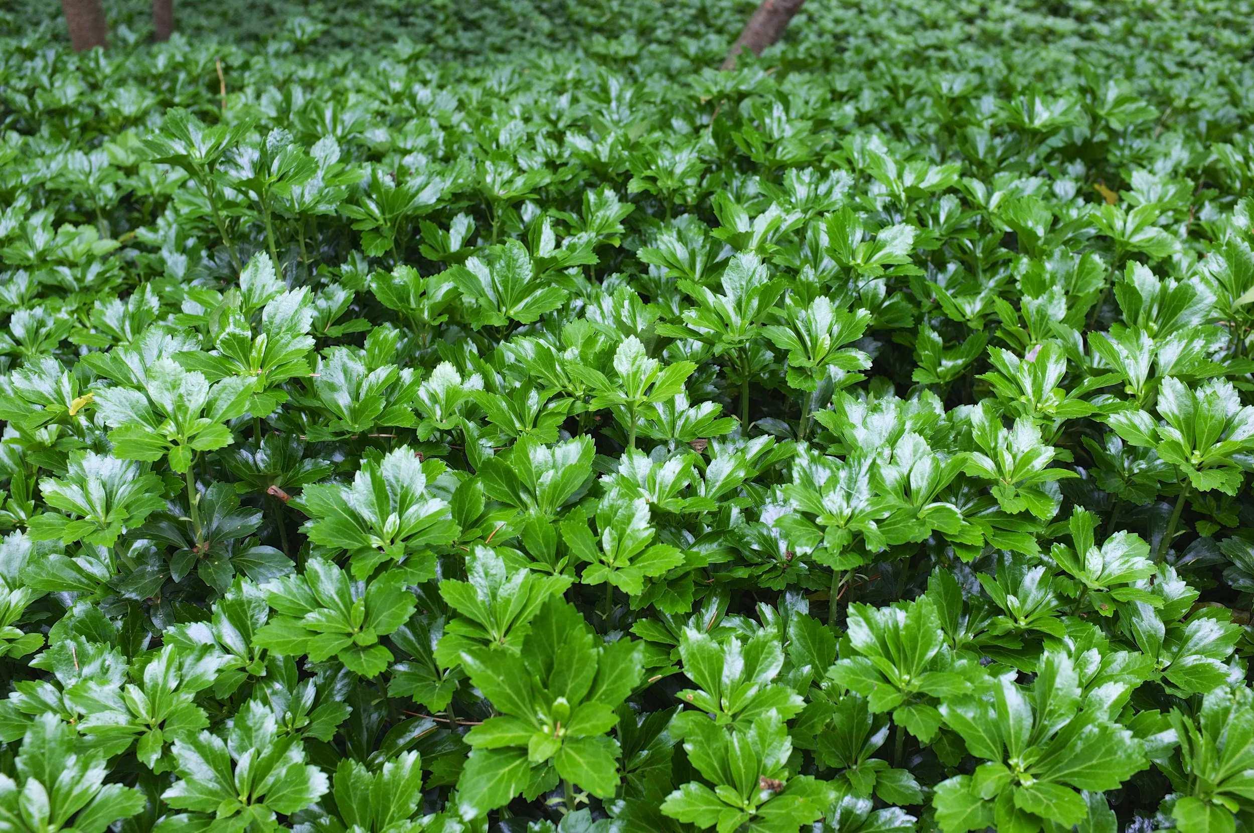 Green Sheen - JW Pachysandra Plants Ground Cover 38.jpg