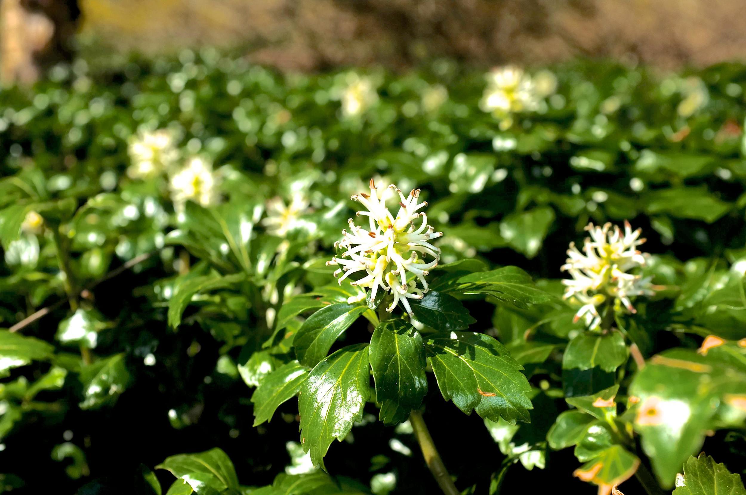 Green Sheen Flower - JW Pachysandra Plants Ground Cover 10.jpg