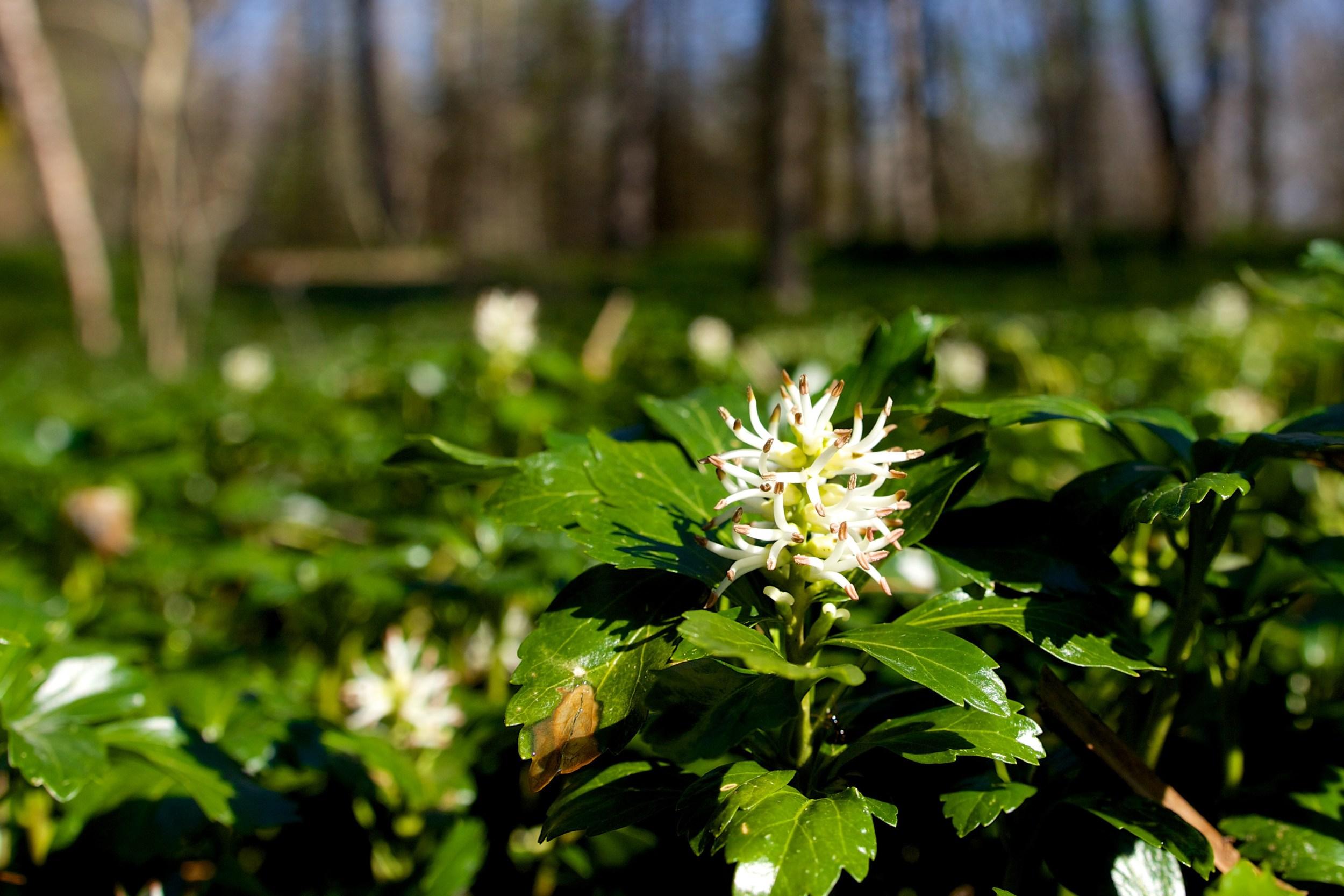 Green Sheen - JW Pachysandra Plants Ground Cover 141.jpg