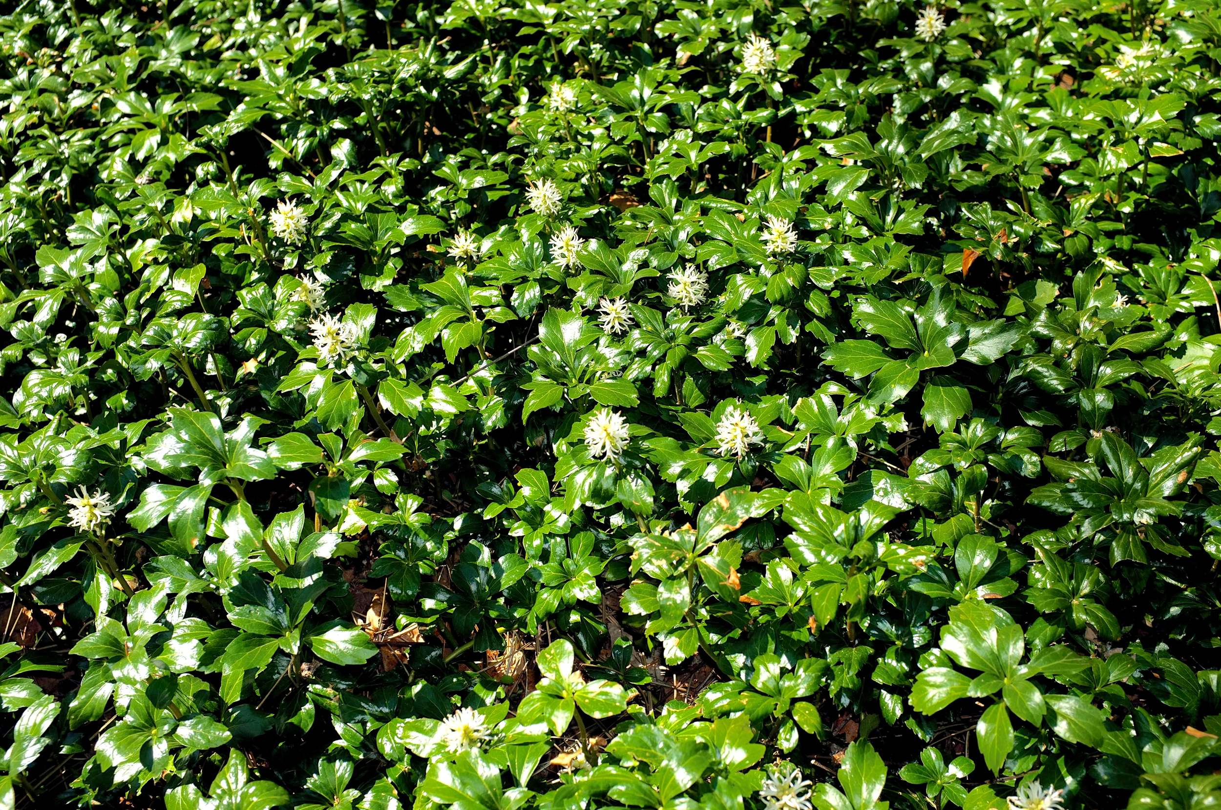 Green Sheen - JW Pachysandra Plants Ground Cover 14.jpg