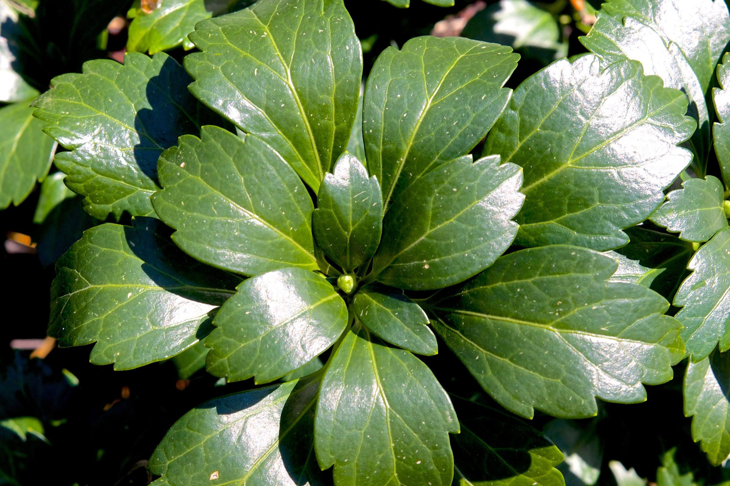 Green Carpet - JW Pachysandra Plants Ground Cover 145.jpg