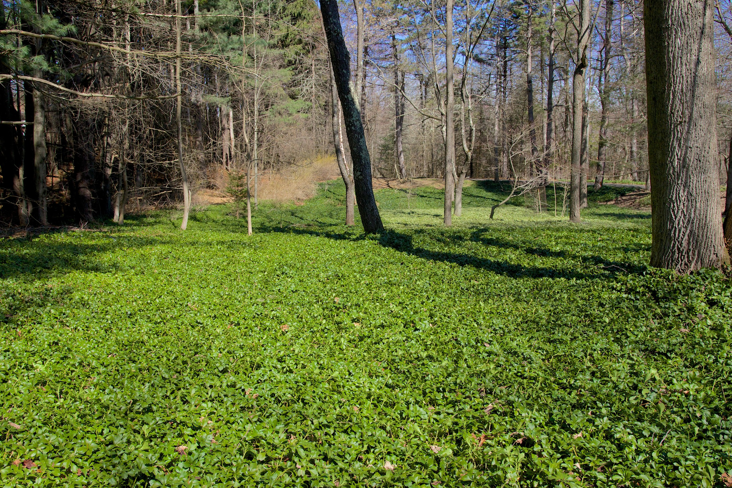 Plants coming out of the winter - JW Pachysandra Plants Ground Cover 132.jpg