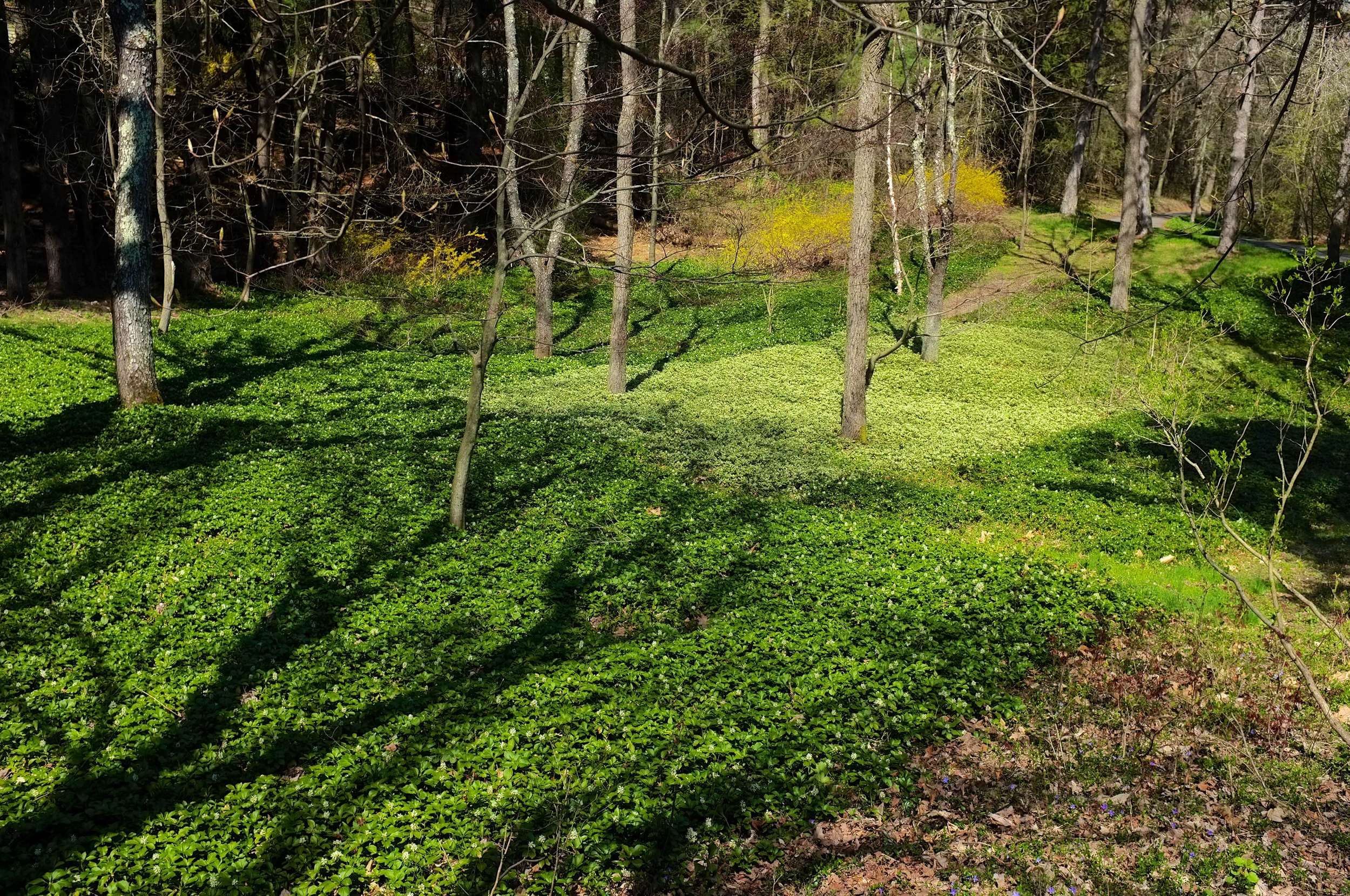 Panorama - JW Pachysandra Plants Ground Cover 22.jpg