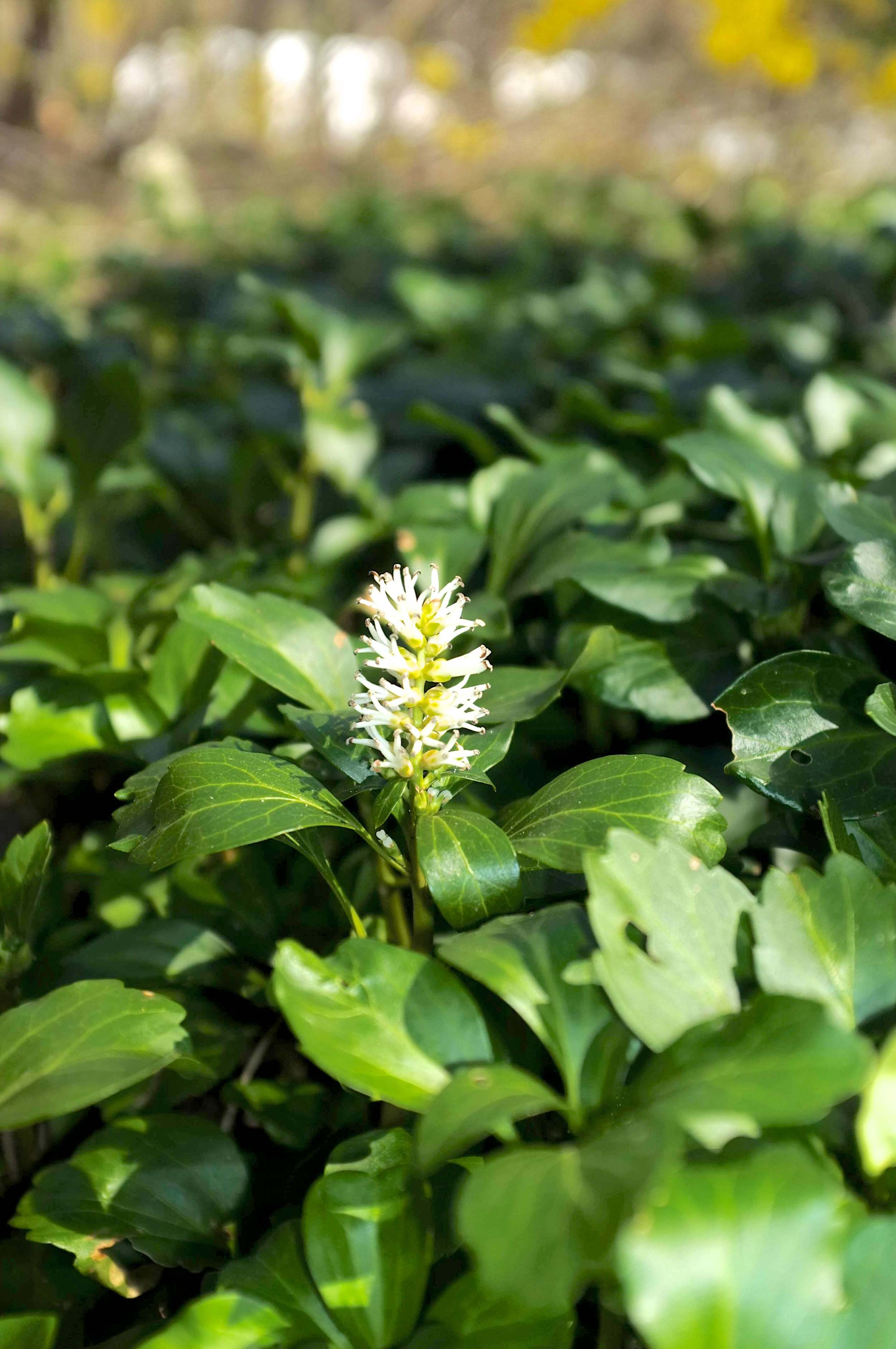 Pearl Common Flower - JW Pachysandra Plants Ground Cover 17.jpg