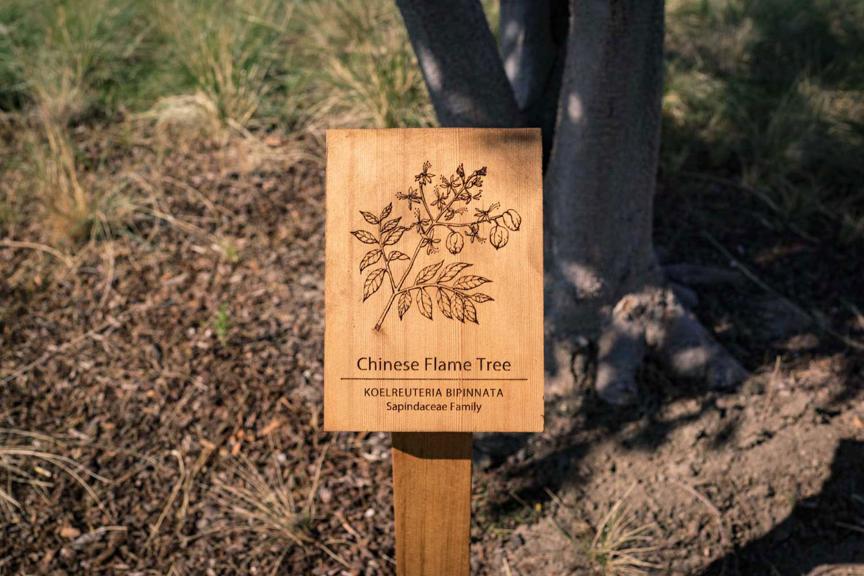 botanical-illustration-identification-signage-Chinese-Flame-Tree-Koelreuteria-bipinnata-Facebook-Building-20-by-Erin-Ellis.jpg