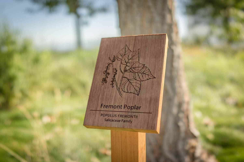 botanical-illustration-identification-signage-Fremont-Poplar-Populus-fremontii-Facebook-Building-20-by-Erin-Ellis-2.jpg