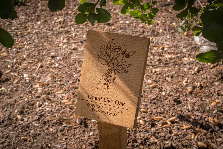 botanical-illustration-identification-signage-Coast-Live-Oak-Quercus-agrifolia-Facebook-Building-20-by-Erin-Ellis.jpg