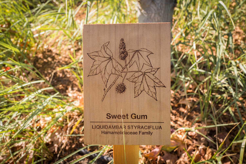 botanical-illustration-identification-signage-Sweet-Gum-Liquidambar-styraciflua-Facebook-Building-20-by-Erin-Ellis.jpg
