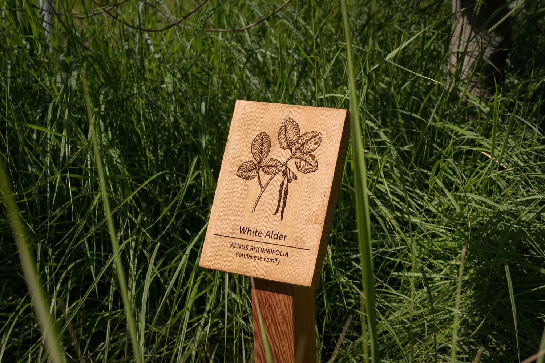 botanical-illustration-identification-signage-White-Alder-Alnus-rhombofolia-Facebook-Building-20-by-Erin-Ellis.jpg