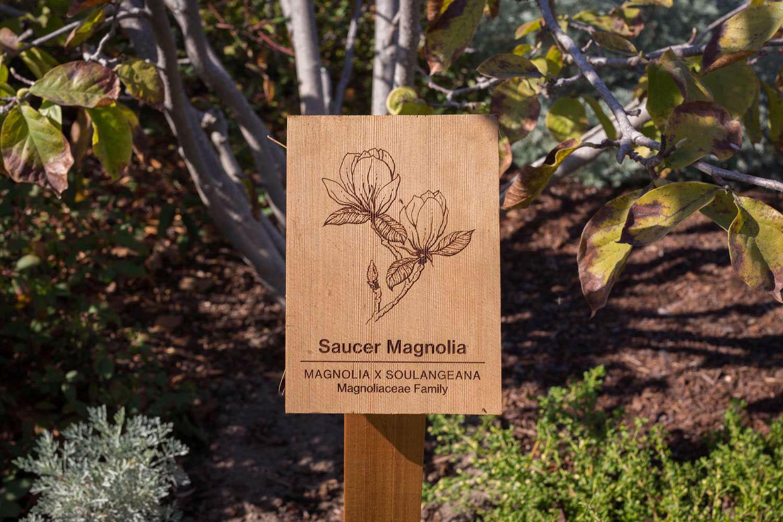 botanical-illustration-identification-signage-Saucer-Magnolia-x-soulangeana-Facebook-Building-20-by-Erin-Ellis.jpg