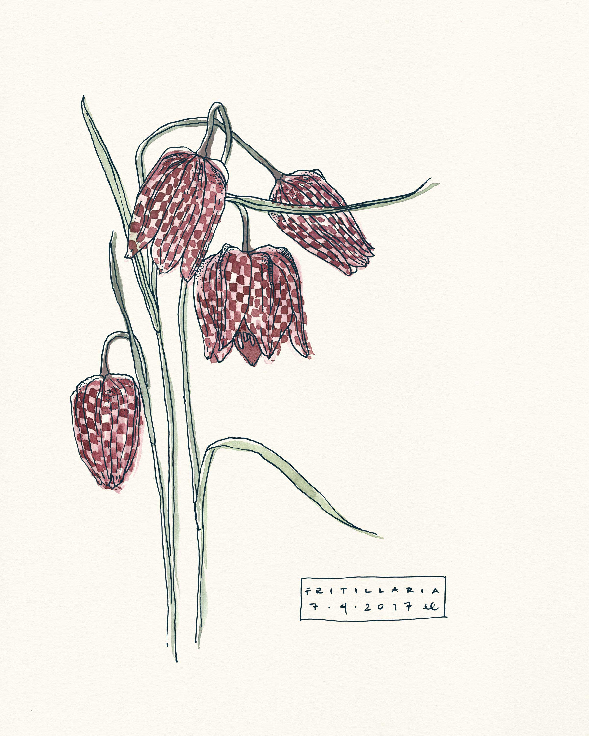 Fritillaria Botanical Illustration