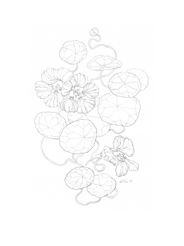 erin-ellis-nasturtium-vine-illustration-bw.jpg