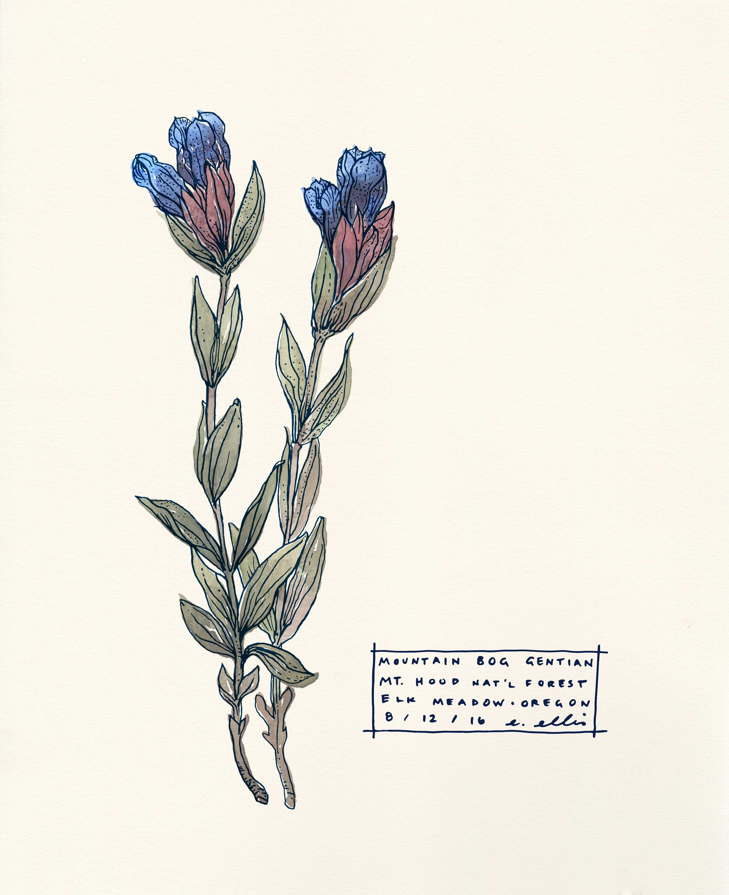 Gentian Botanical Illustration
