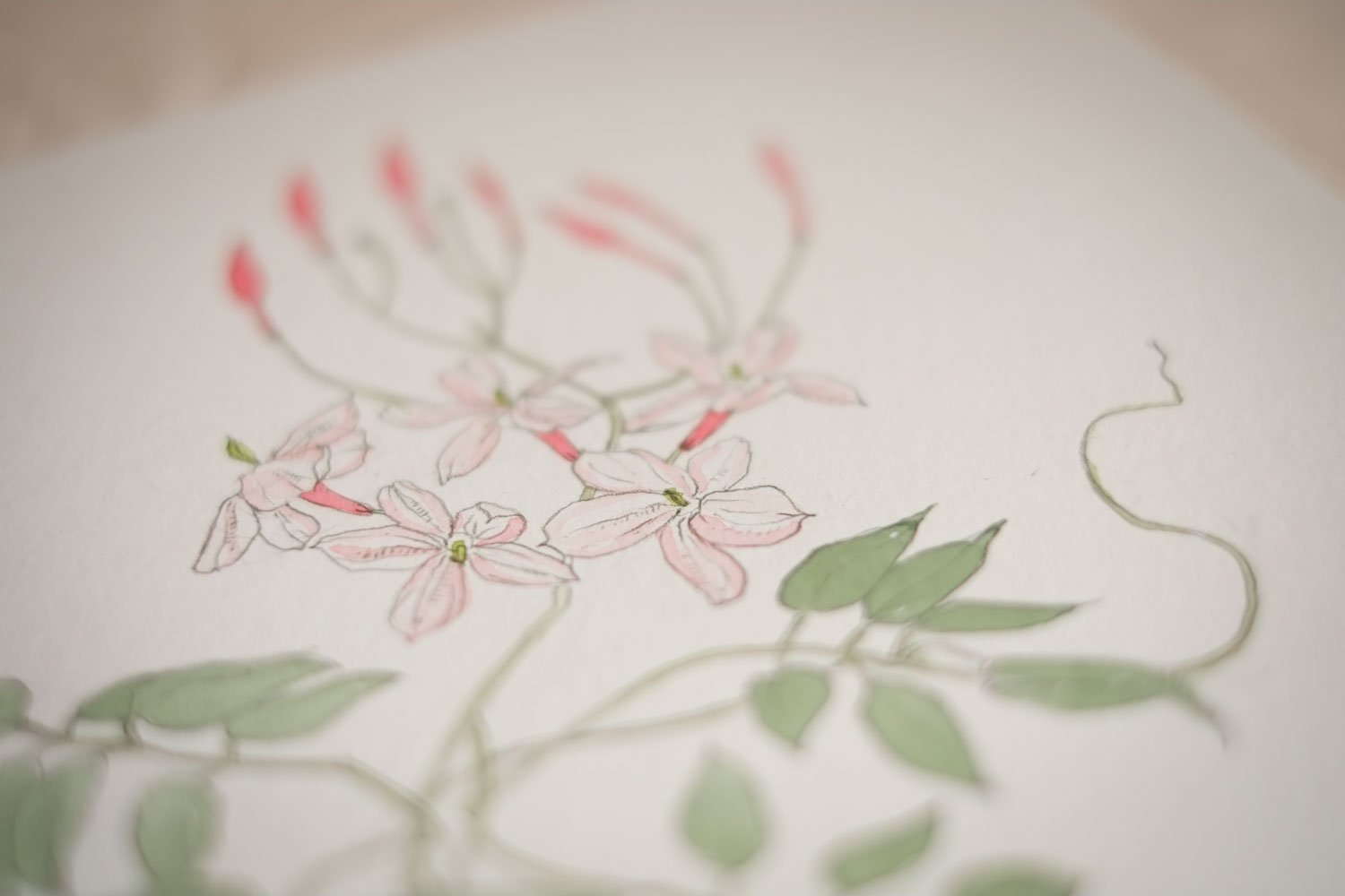Erin Ellis_botanical flowering vines watercolor drawings-12-2.jpg