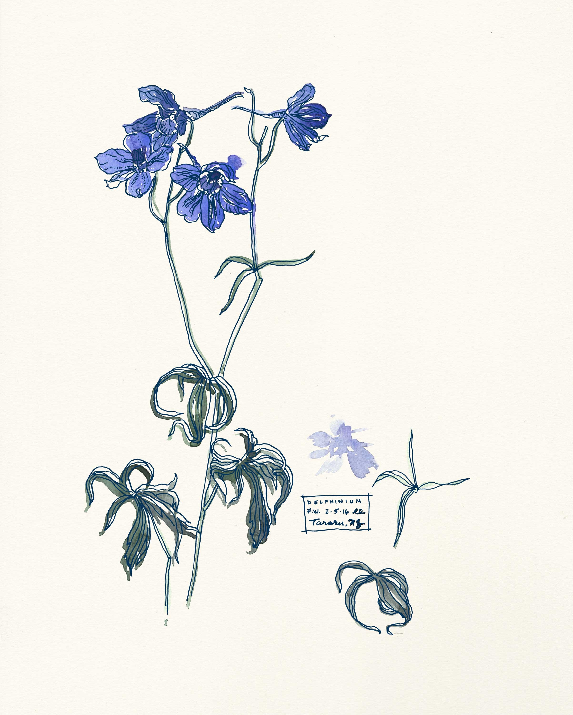Delphinium Botanical Illustration