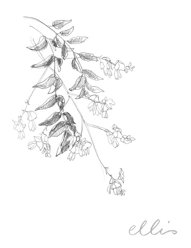 Erin Ellis_100 days project botanical drawings_2013-51.jpg