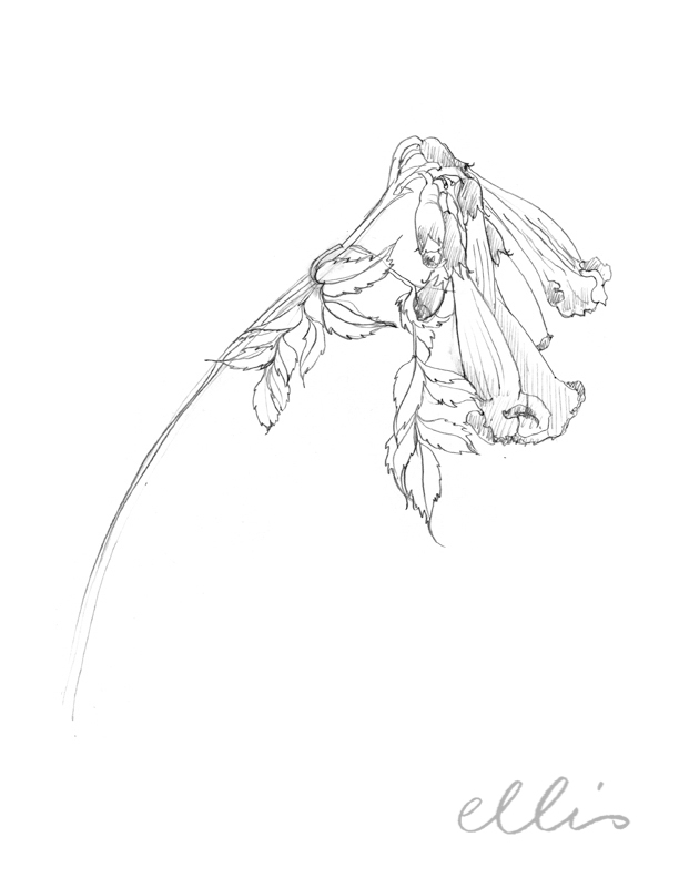 Erin Ellis_100 days project botanical drawings_2013-55.jpg