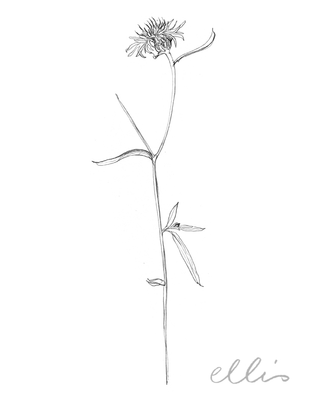Erin Ellis_100 days project botanical drawings_2013-56.jpg