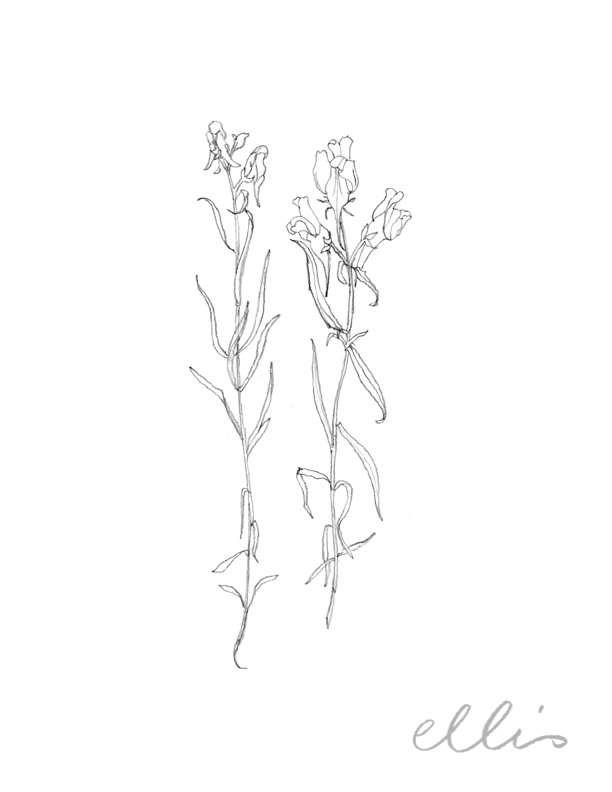 Erin Ellis_100 days project botanical drawings_2013-58.jpg