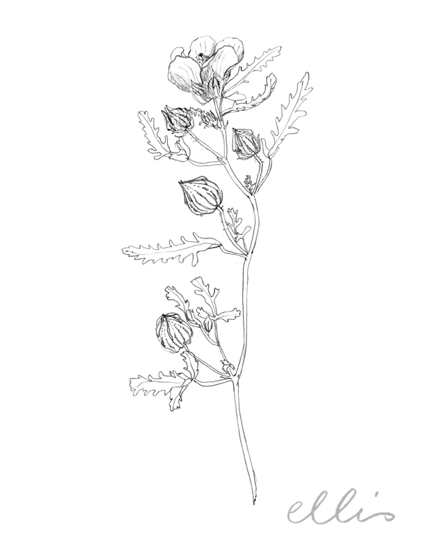 Erin Ellis_100 days project botanical drawings_2013-60.jpg