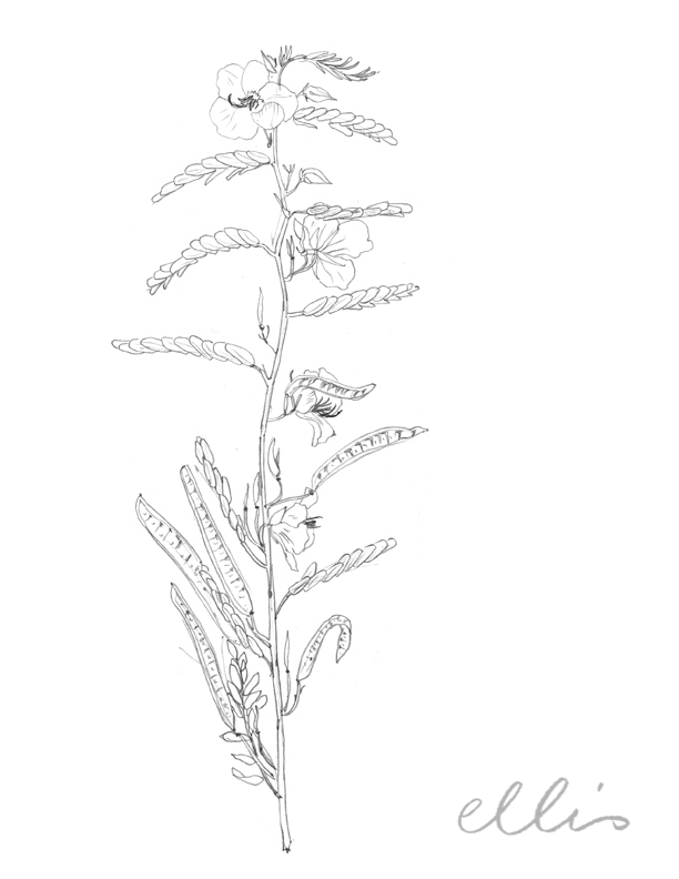 Erin Ellis_100 days project botanical drawings_2013-61.jpg