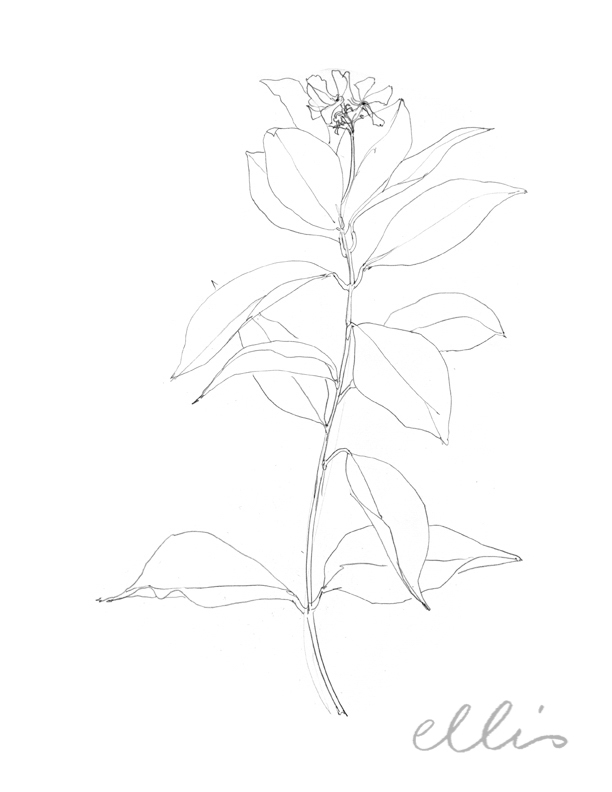 Erin Ellis_100 days project botanical drawings_2013-67.jpg