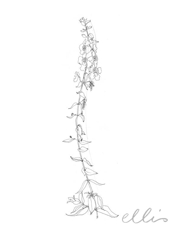 Erin Ellis_100 days project botanical drawings_2013-69.jpg