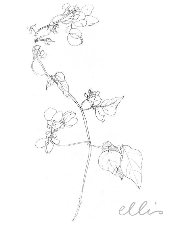 Erin Ellis_100 days project botanical drawings_2013-71.jpg