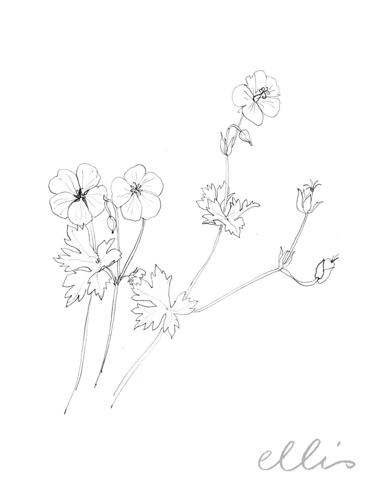 Erin Ellis_100 days project botanical drawings_2013-73.jpg