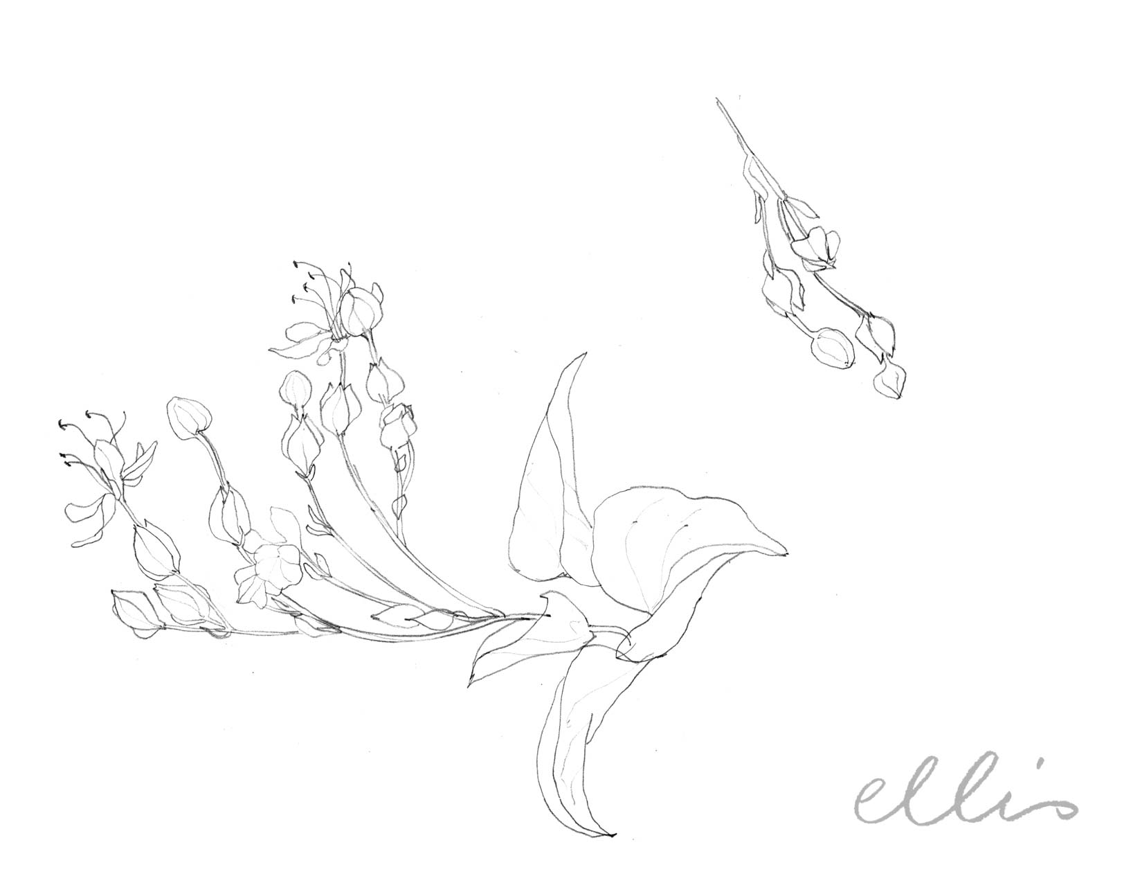 Erin Ellis_100 days project botanical drawings_2013-74.jpg