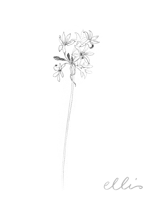 Erin Ellis_100 days project botanical drawings_2013-76.jpg