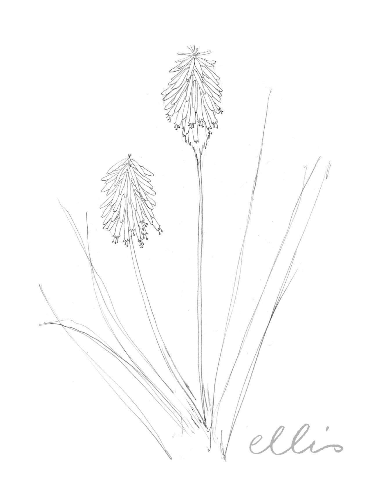 Erin Ellis_100 days project botanical drawings_2013-75.jpg